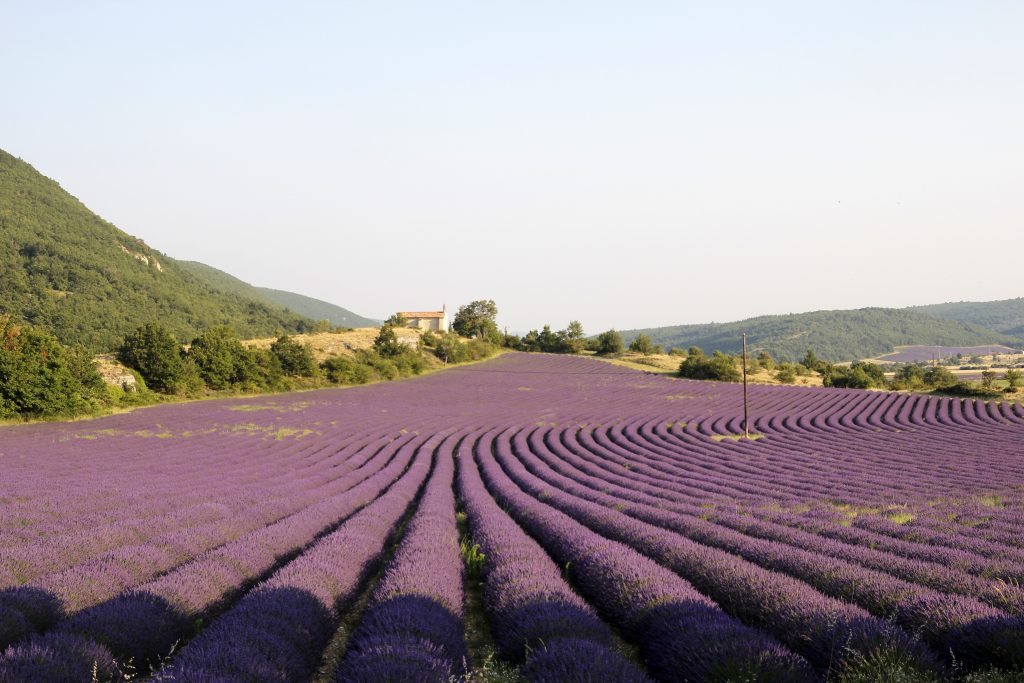 View of lavender fields during our painting workshop in Provence