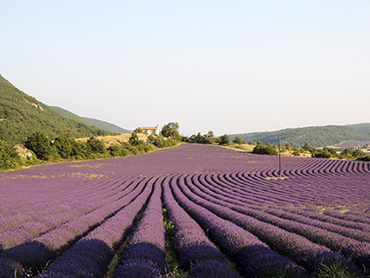 View of lavender fields during our painting holidays in Provence France