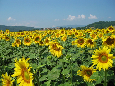 View of sunflower fields during our art workshops in Tuscany Italy